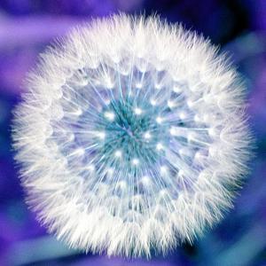 Dandelion Seed Head by Victor De Schwanberg