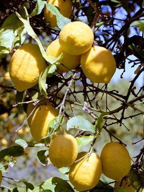 Lemons by Victor De Schwanberg