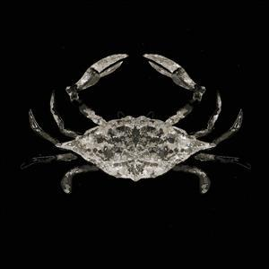 Coastal Crab 3 by Victoria Brown