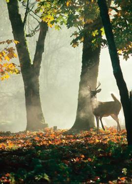 Cerf dans la Forêt by Victoria Hurst