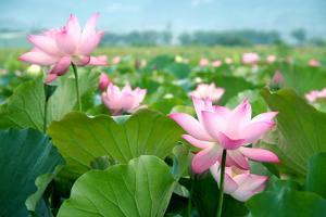 Lotus Flower Blossom by videowokart
