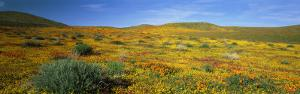 View of Blossoms in a Poppy Reserve, Antelope Valley, Mojave Desert, California, USA