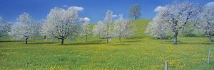 View of Blossoms on Cherry Trees, Zug, Switzerland
