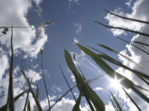 View of Bulrushes Against a Cloudy Sky