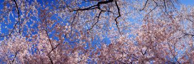 https://imgc.allpostersimages.com/img/posters/view-of-cherry-blossom-trees-washington-state-usa_u-L-P8XIME0.jpg?artPerspective=n