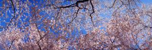 View of Cherry Blossom Trees, Washington State, USA