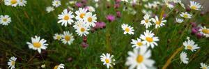 View of Daisy flowers in meadow, Rinzenberg, Rhineland-Palatinate, Germany