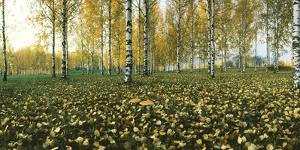 View of fallen leaves and Birch trees by the Vuoksi River, Imatra, Finland