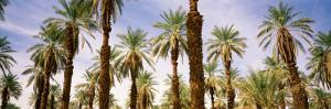 View of Palm Trees, Furnace Creek, Death Valley, Death Valley National Park, California, USA