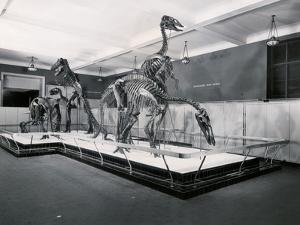 View of Tyrannosaur Skeletons in Museum
