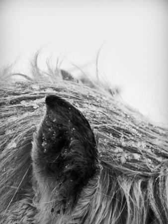 Horse, Close-Up of Ear and Mane
