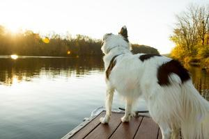 A Border Collie Looks Out over a Lake During an Autumn Sunrise in Eastern Pennsylvania by Vince M. Camiolo