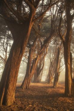 Among the Presidio Trees, Morning Mist Magic San Francisco by Vincent James