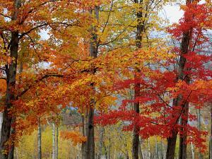 Autumn Sugar Maples, New Hampshire New England by Vincent James