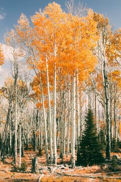 Autumn Sun Trees at Dixie National Forest, Southern Utah, Southwest by Vincent James