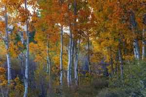 Autumn Vision - Fall Color, Bishop Creek Canton, Eastern Sierras California by Vincent James
