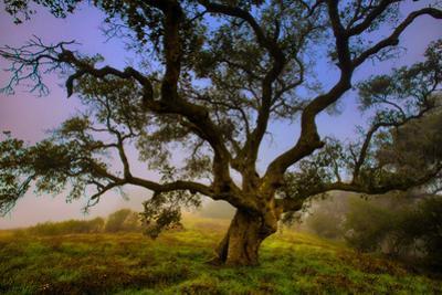Dark Oak, Petaluma Hills, Northern California, Bay Area Trees by Vincent James