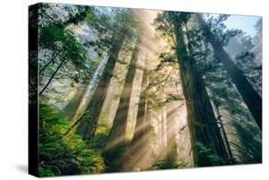Divine Forest Light Coast Redwoods Del Norte California by Vincent James