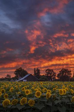 Epic Sunset Sunflowers by Vincent James
