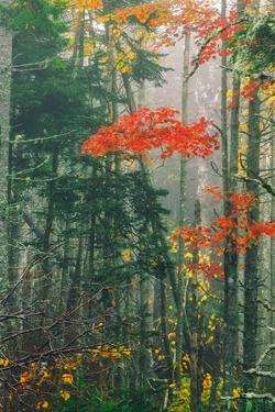 Fall Foliage in the Mist, Maine, New England by Vincent James