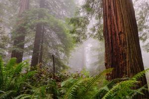 Fog and Redwood Grove, California Coast by Vincent James