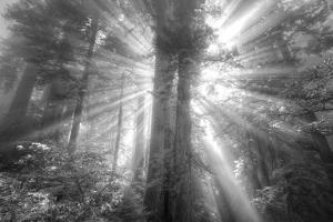 God Beams and The Redwoods (Black and White) by Vincent James