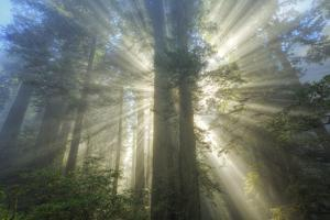 God Beams and The Redwoods, California Coast by Vincent James