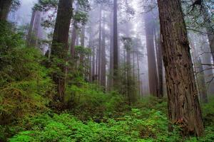 Into The Woods, Redwood Coast, Northern California by Vincent James