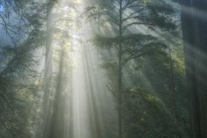 Light and The Misty Woods, California Redwoods by Vincent James