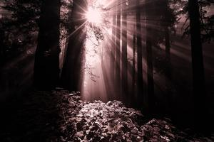 Light in the Darkness, California Redwood Coast by Vincent James