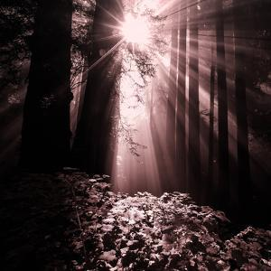 Light in the Darkness (Square), Redwood Coast by Vincent James