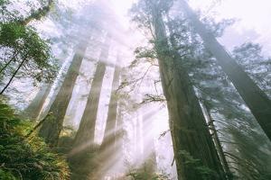 Light Source, Del Norte Coast Redwoods, California Coast, Humboldt by Vincent James