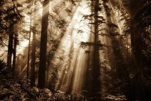 Light Within The Darkness, California Redwoods, Coastal Trees by Vincent James