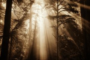 Magic Light in the Forest, California Redwoods, Coastal Trees by Vincent James