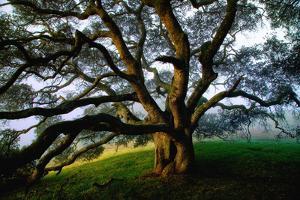 Majestic and Elegant Oak California Country Hillside, Petaluma by Vincent James