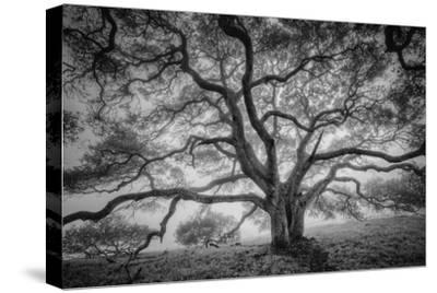 Majestic Old Oak, Black and White, Petaluma Northern California by Vincent James