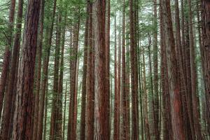 Majestic Trees, John Muir Woods by Vincent James