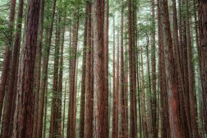 Majestic Trees, Muir Woods by Vincent James
