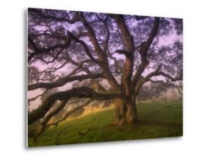 Majestic Wild Oak, Petaluma, California by Vincent James