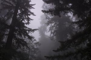 Misty and Moody Tree Design, Redwood National Park by Vincent James