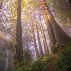Misty Walk Into Del Norte Coast Redwoods (Square) by Vincent James