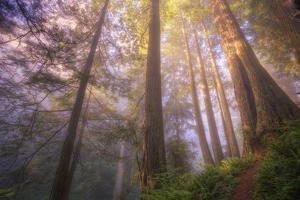 Misty Walk Into Del Norte Coast Redwoods by Vincent James