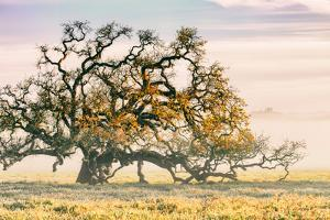 Morning Oak and Mist, Petaluma Trees, Sonoma County, Bay Area by Vincent James