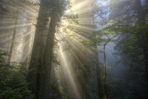 Morning Sun Explosion, California Coast Redwoods by Vincent James