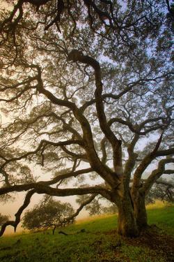 Mysterious Winter Oak, Petaluma, Sonoma County by Vincent James