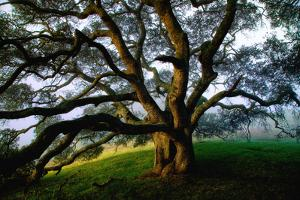 Mystical Old Oak Tree, Petaluma Countryside California by Vincent James
