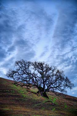 Oak and Sky, Morning Hills of Petaluma, Northern California Trees by Vincent James
