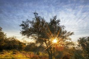 Open Space, Grizzly Peak, Oakland Oak Tree, Dry Bay Area Sunset by Vincent James