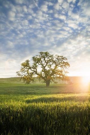 Spring Oak, Morning Light - California Wonders Magical Mood
