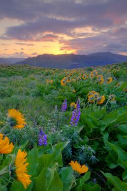 Sunrise and Flower Field, Columbia River Gorge, Oregon by Vincent James